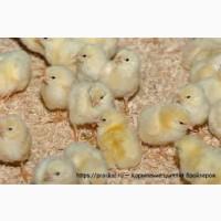 Бройлер Росс 308, Кобб 500, добові курчата, доставка
