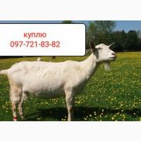 Козы козлы по запорожской области
