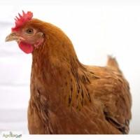 Цыплята. Испанки, голошейки. Опт. Розница