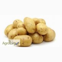 Продам картофель оптом (Латона, Сильвана, Ред Леди, Романо) по хорошим ценам