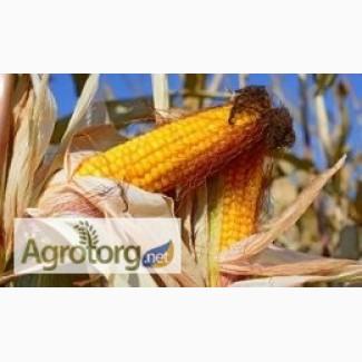 Продам гібрид кукурузи ГРАН 6 (урож.2017 р)