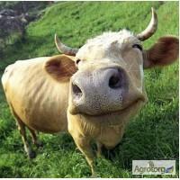 Куплю коров оптом от 20 голов вес 400-700 кг