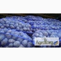 Продаем товарный картофель ОПТОМ сорт Винета