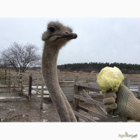Продаю страусов южноафриканских, молодняк и более