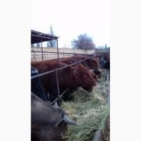 Продам быков 15 голов