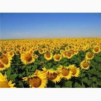 Продам высокоурожайный подсолнечник под Евро-Лайтинг и Гранстар