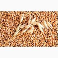 Переработка пшеничной, ячневой крупы. Хранение зерна