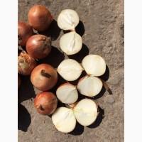 Продам лук сорта Хайденс (Крупный)