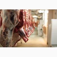 Куплю говядину полутушами, коров живым весом и скот. Мясо на кости