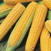 Продам семена кукурузы Галатея, Хотин, Збруч, МАГ, ...