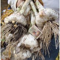 Продам Рокамболь семена, Киев