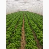 Продам салат сорт Ілема