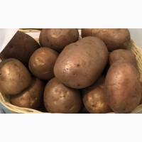 Продам семенной картофель элита