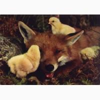 Купити інкубаційне яйце ФОКСІ ЧІК (Foxy Chick) Київ