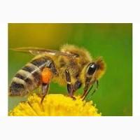 Продам бджолопакети, бджолосім'ї Житомир