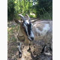 Продам срочно коз