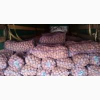 Продам картошку белароса без гнили