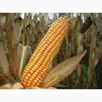 Канадский трансгенний гібрид кукурудзи skeena ff 199 фао 300
