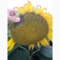 Насіння соняшнику Карлос 105 (ЄВРОЛАЙТІНГ) купити