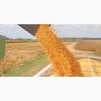 Кукурузу куплю у Фермера