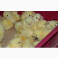 Бройлер Росс 308, Кобб 500, імпорт, добові курчата