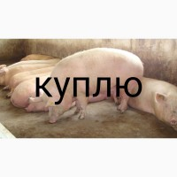 Куплю свиноматок на убой
