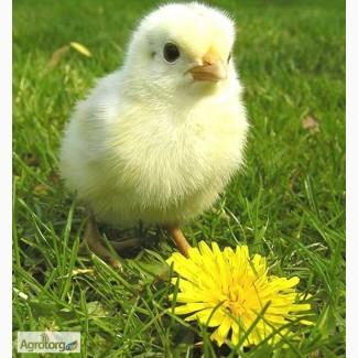 Реализуем суточные цыплята Бройлеров