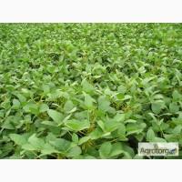 Продаємо насіння сої Моравія, 1 репродукція