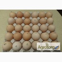 Яйця інкубаційні курей бройлерів КОББ-500 ( COBB-500 ) Угорщина імпорт
