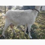 Продам молодых чистокровных зааненских коз