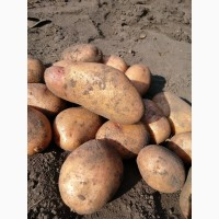 Продам отборную картошку, вырощенную на натуральных компостных удобрениях, без химии