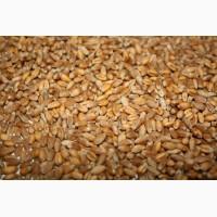 Пшеницу куплю проблемную