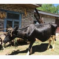 Продаю. корову, тельную 5 месяц