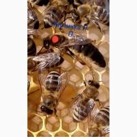 Продам плідні пчеломатки карпатки 2018, 150-130грн