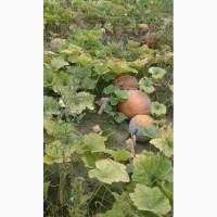 Продам гарбуз (тыкву) урожай 2019 року