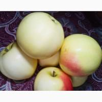 Продам яблука, сорт Снежный кальвиль 4 тонны 1 класса