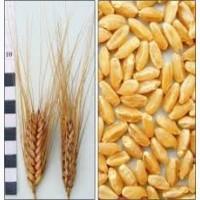 Семена пшеница Симкода Мироновская