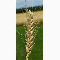 Семена озимой пшеницы Бунчук Элита, урожайность 75-89 ц/га