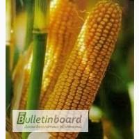 РАМ 8143 новый устойчивый к болезням гибрид кукурузы