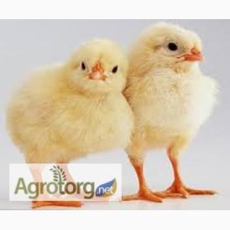 Суточные цыплята Бройлеров. Утята. Гуси. Индюшата. Цыплята бройлера