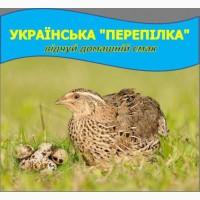 Продам яйця перепелині оптом
