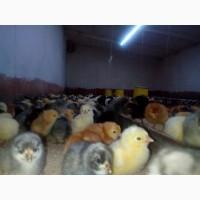 Суточні курчата ДОМІНАНТ (півники) 19-22 травня