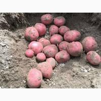 Куплю домашний картофель по Винницкой области