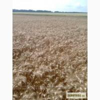 Реалізуємо насіння озимої пшениці