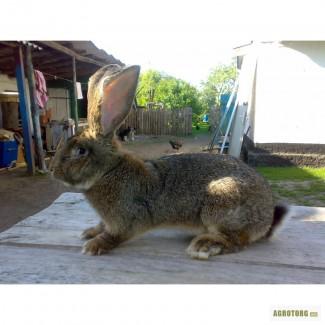 Продам кроликов породы бельгийский великан(обр ,ризен, фландр)