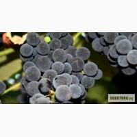 Продам виноград (Изабелла)