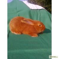 Продаю крольчат породы Новозеландская красная.