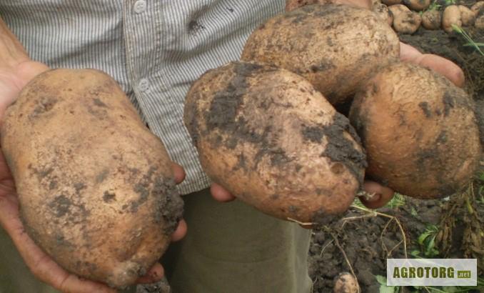 Сорта картофеля Каталог сортов, цены, отзывы