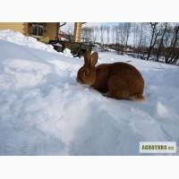 Кролики продажа