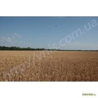 Артеміда пшениця озима елітне